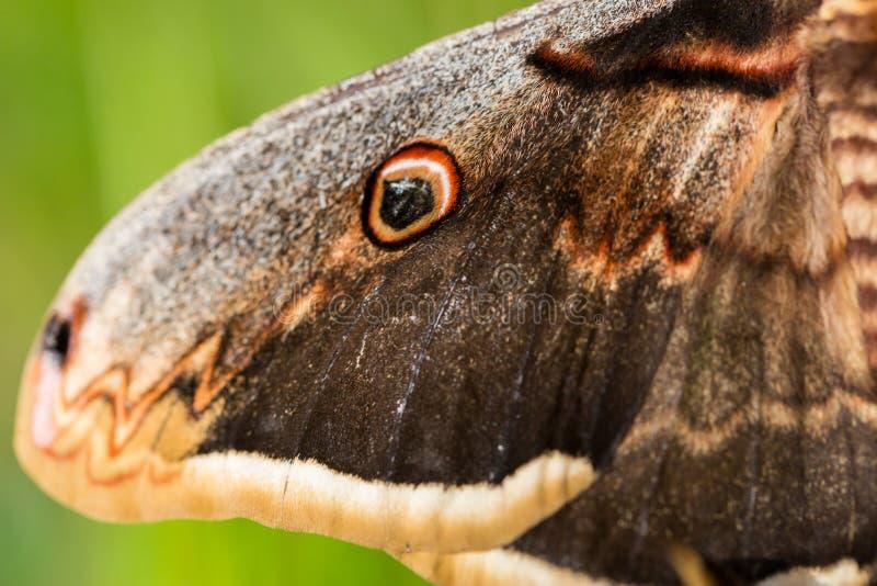 Detaljer av vingen av den wienska pyrien för saturnia för kejsarefjäril royaltyfria foton