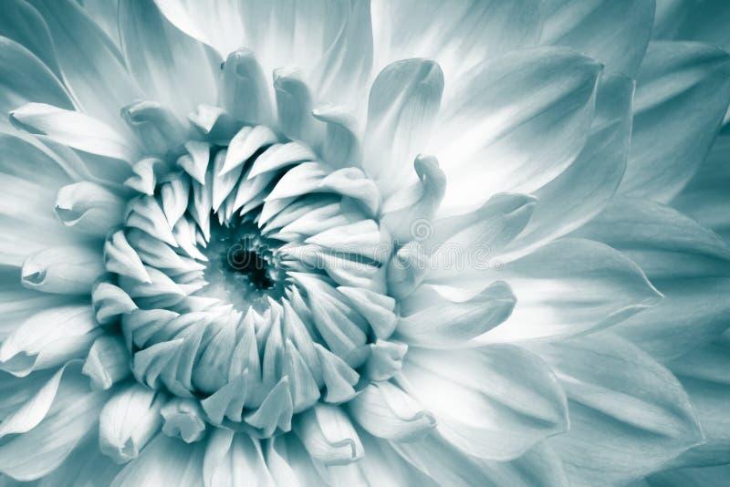 Detaljer av vit och ljus - blått fotografi för makro för ny blomma för dahlia Färg tonat foto med grönaktiga turkossignaler arkivfoton