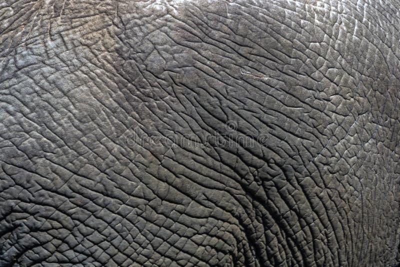 Detaljer för slut av den lösa elefanten flår upp bakgrund, royaltyfria foton