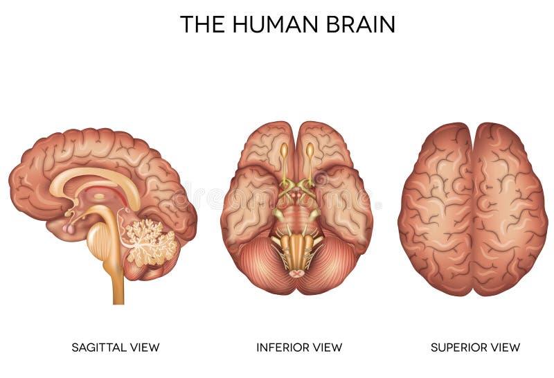 Detaljerad anatomi för mänsklig hjärna royaltyfri illustrationer