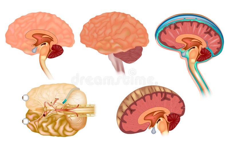 Detaljerad anatomi för mänsklig hjärna stock illustrationer