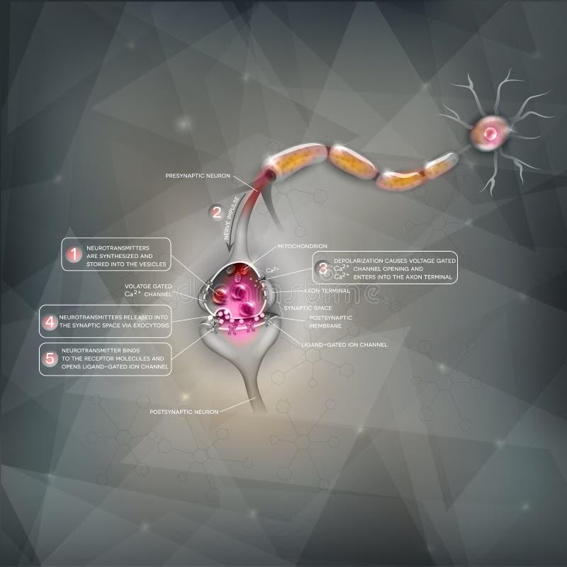 Detaljerad anatomi för Synapse royaltyfri illustrationer