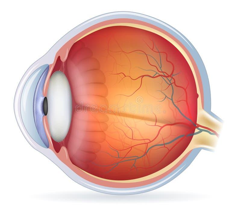 Detaljerad anatomisk illustration för mänskligt öga stock illustrationer