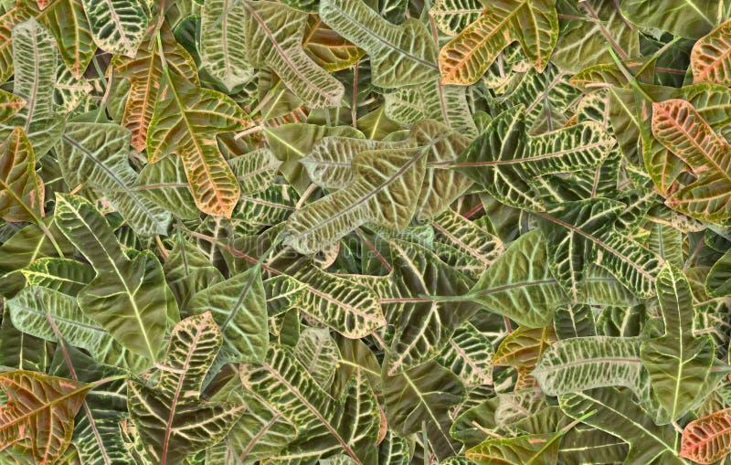 Detaljerad bakgrund av crotonsidor arkivfoto