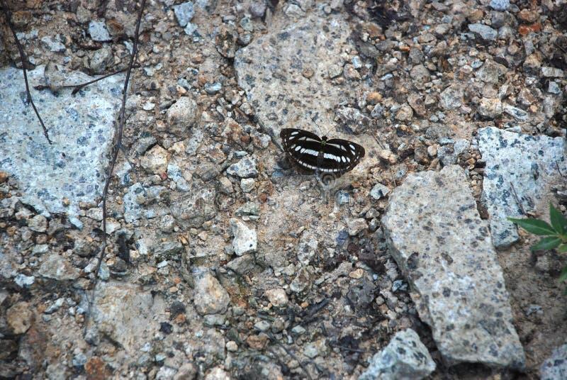 Detaljerad bild av den svartvita fjärilen på stenarna arkivbilder