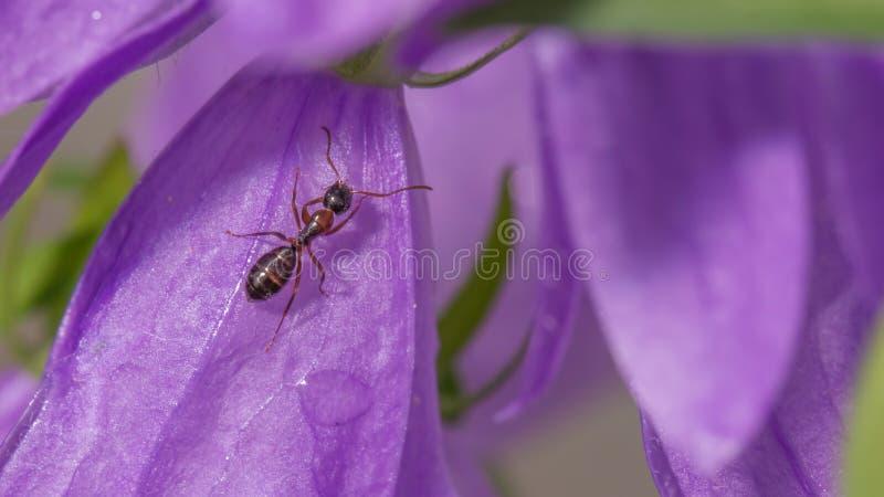 Detaljerad bild för extrem closeup av den purpurfärgade vildblomman med myran som klättrar på den - utmärkt makrodetaljen av myra arkivfoto