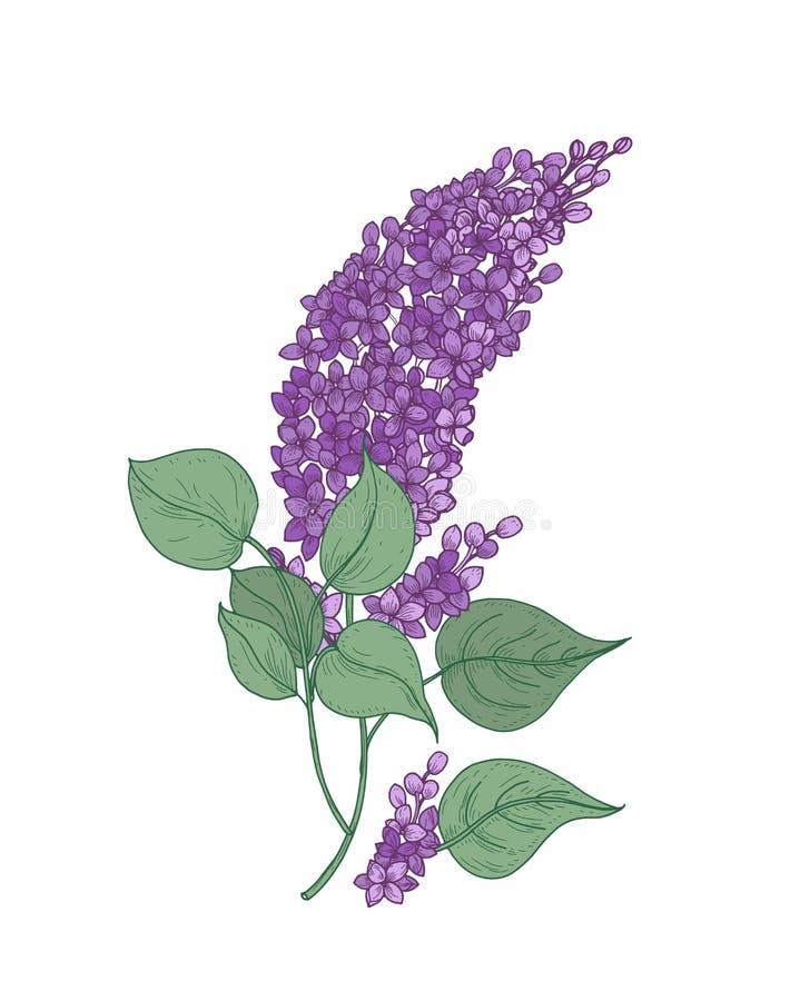 Detaljerad botanisk teckning av den lila filialen med lilablommor och gräsplansidor som isoleras på vit bakgrund Del av royaltyfri illustrationer
