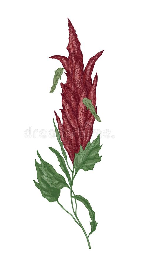 Detaljerad botanisk teckning av quinoaen eller amaranthblomningväxt eller inflorescence Odlad kornskörd som isoleras på vektor illustrationer