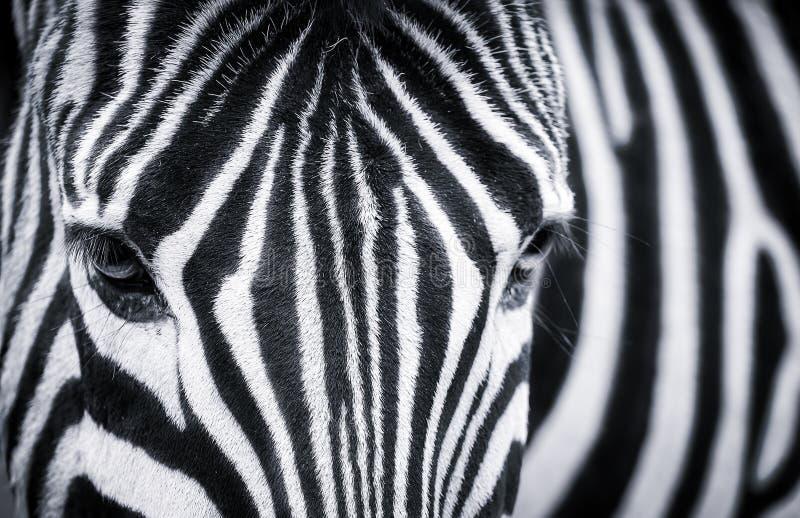 Detaljerad svartvit closeup av en sebra arkivbild