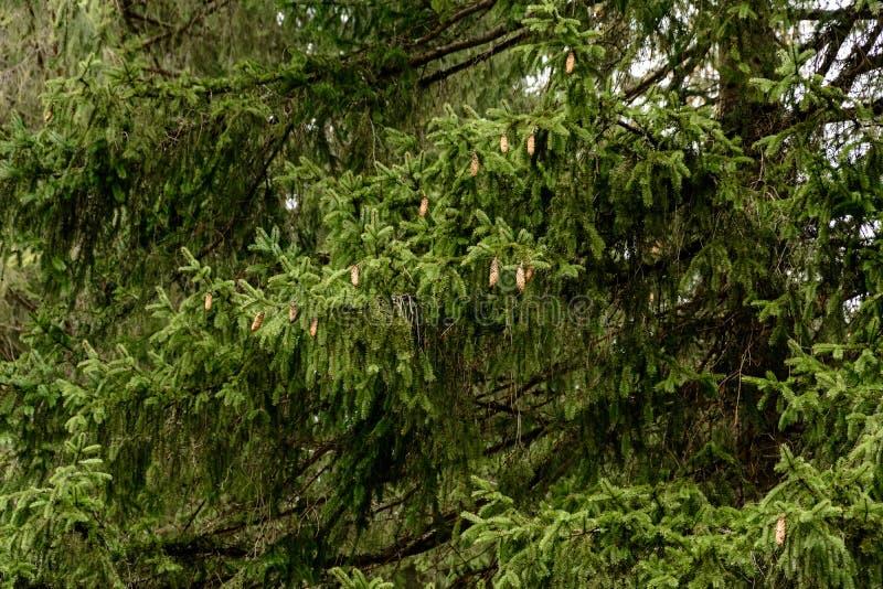 Detaljerad textur av barrträdskogen på kulleslut upp, bakgrund av trädblast på bergssidan arkivfoto