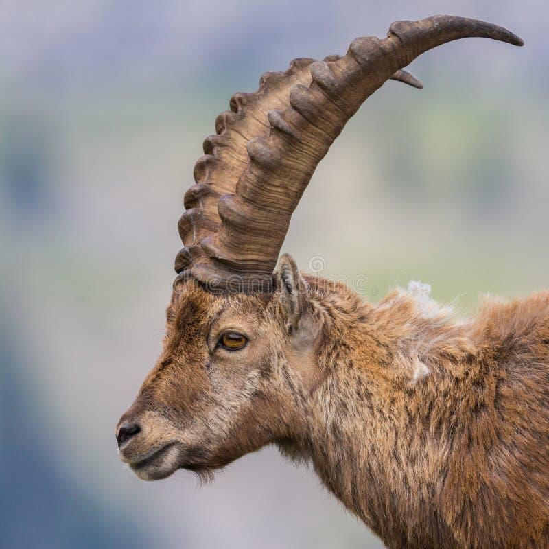 Detaljerat huvud för capricorn för stenbock för capra för sidosikt vuxet manligt alpint fotografering för bildbyråer