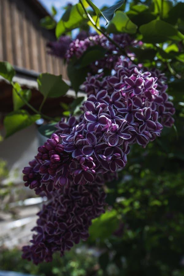 Detaljerat makroskott av den purpurfärgade lila blomman arkivfoton
