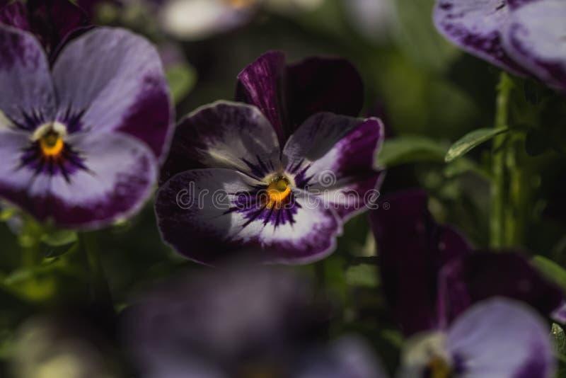 Detaljerat makroskott av den purpurfärgade violetta blomman royaltyfri foto
