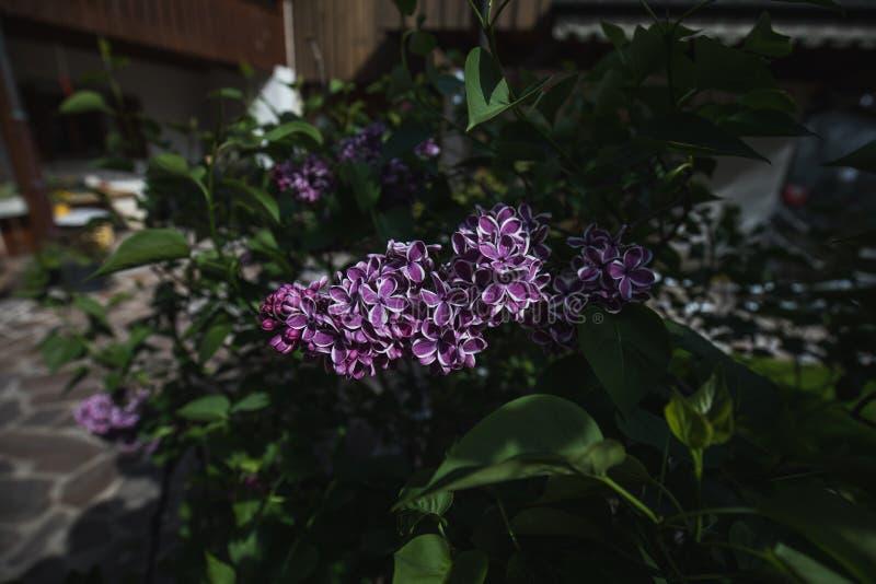 Detaljerat makroskott av den purpurf?rgade lila blomman arkivfoto