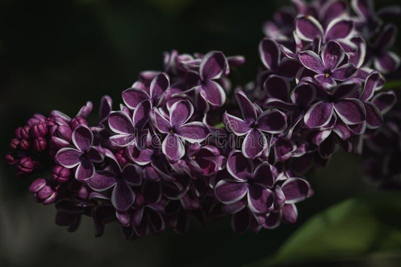 Detaljerat makroskott av den purpurf?rgade lila blomman royaltyfri foto