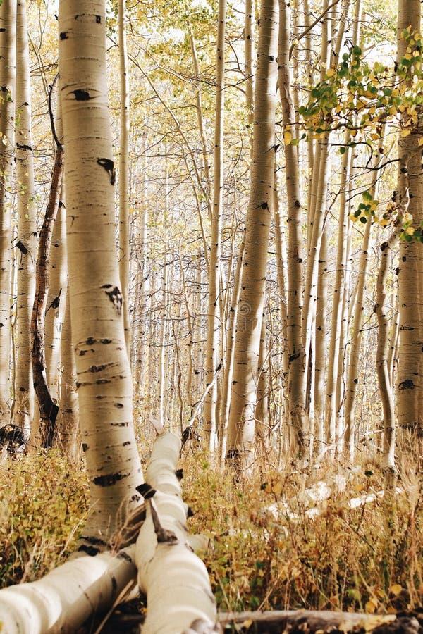 Detaljerat skott av ett härligt fält med asp- träd i en skog royaltyfri fotografi