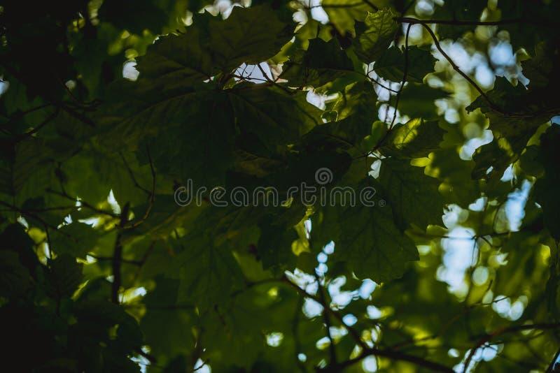 Detaljerat skott av gröna sidor underifrån i solljuset royaltyfria bilder