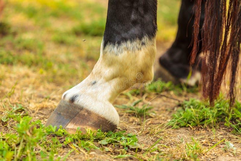Detaljerat slut upp av hästklöven fotografering för bildbyråer