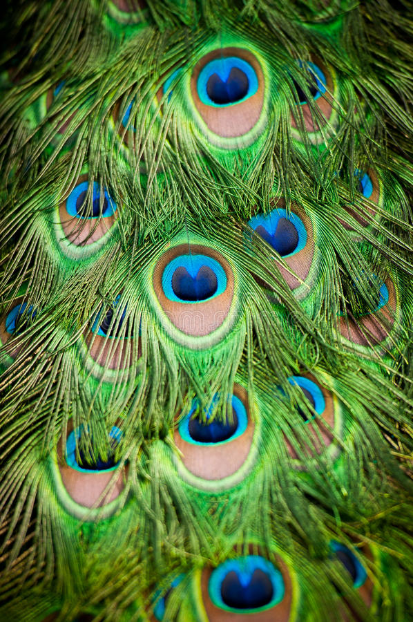 detaljfjäderpåfågel royaltyfri bild