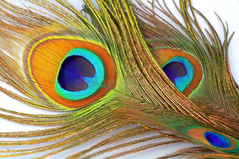 detaljfjäderpåfågel arkivbilder