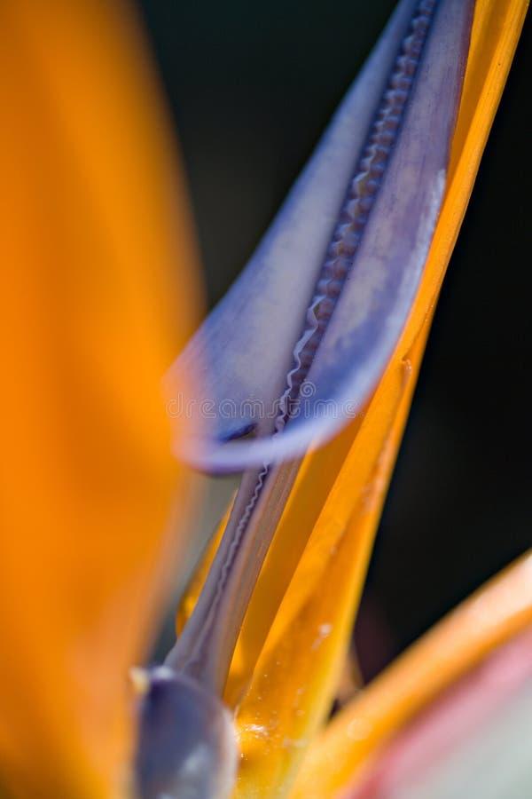 detaljstrelitzia arkivfoton