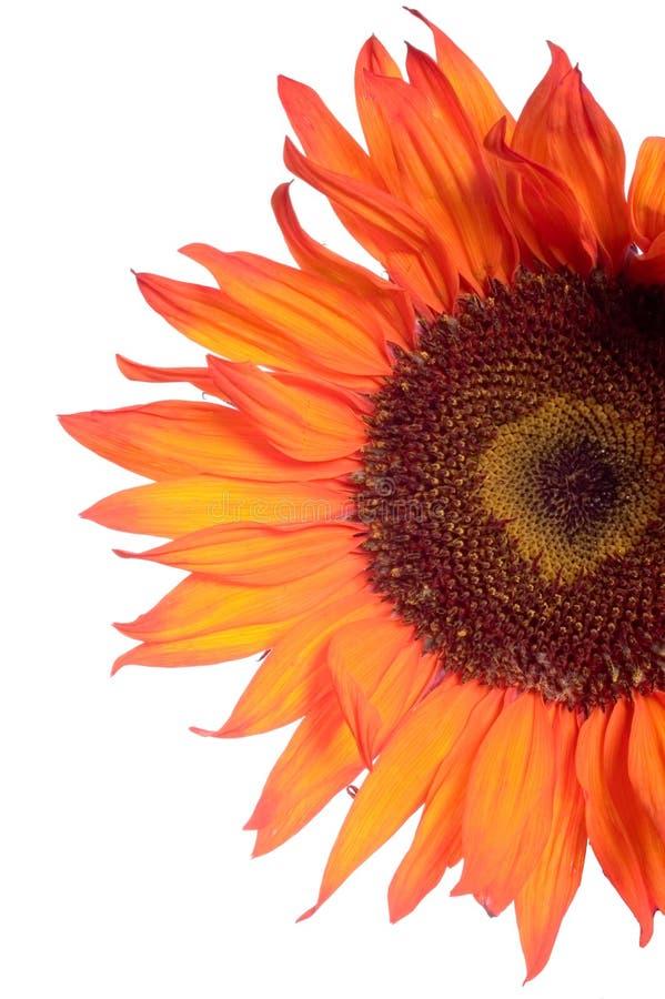 Detalle anaranjado del girasol aislado en blanco fotos de archivo libres de regalías