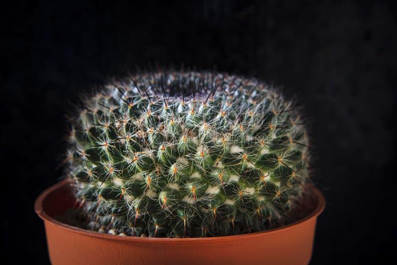 Detalle ascendente cercano de la aguja del cactus en el establecimiento del pote imagen de archivo