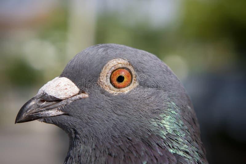 Detalle ascendente cercano del pájaro de la paloma autodirigida con la luz natural del sol imagenes de archivo