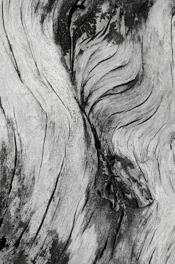 Detalle ascendente de la corteza del cierre blanco y negro del árbol imagen de archivo