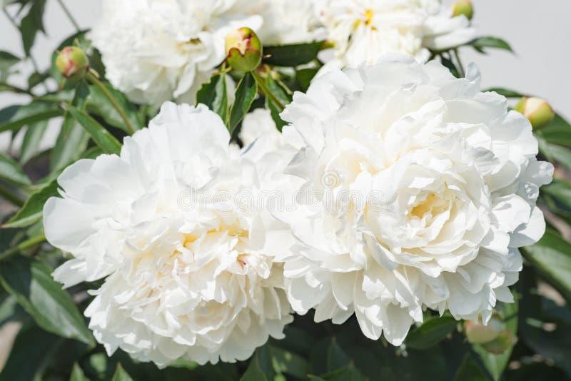 Detalle blanco del ramo de la flora de la planta de jardín del flor del pétalo de la flor de la peonía natural imagenes de archivo