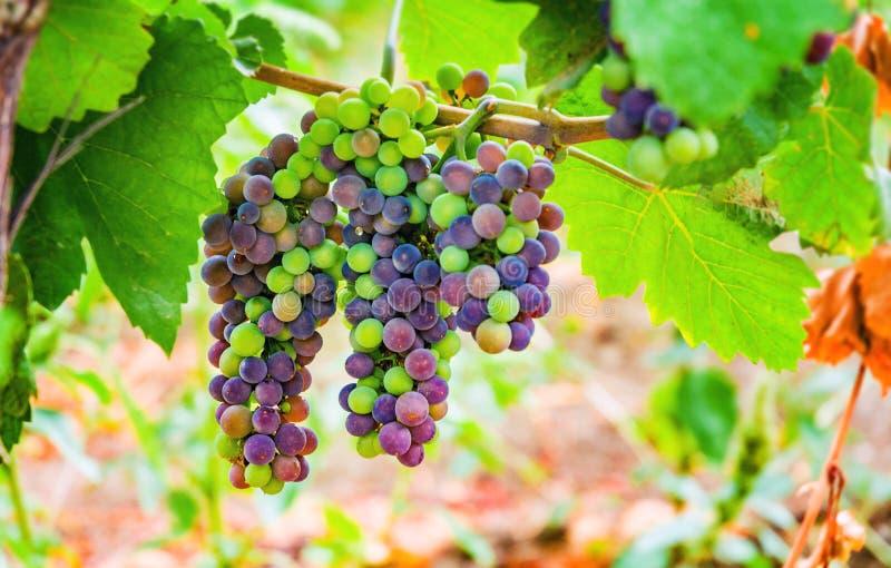 Detalle cada vez mayor rojo del viñedo de las uvas de vino imagenes de archivo