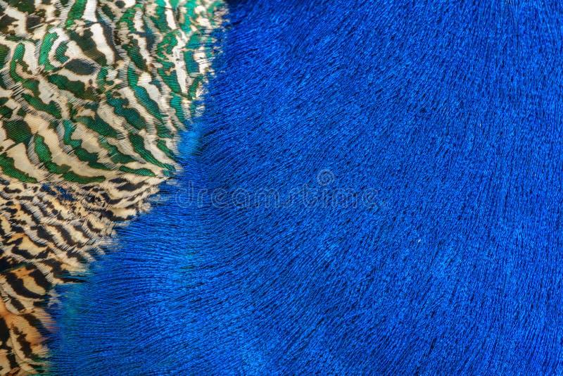 Detalle colorido del fondo de la pluma del pavo real fotografía de archivo libre de regalías