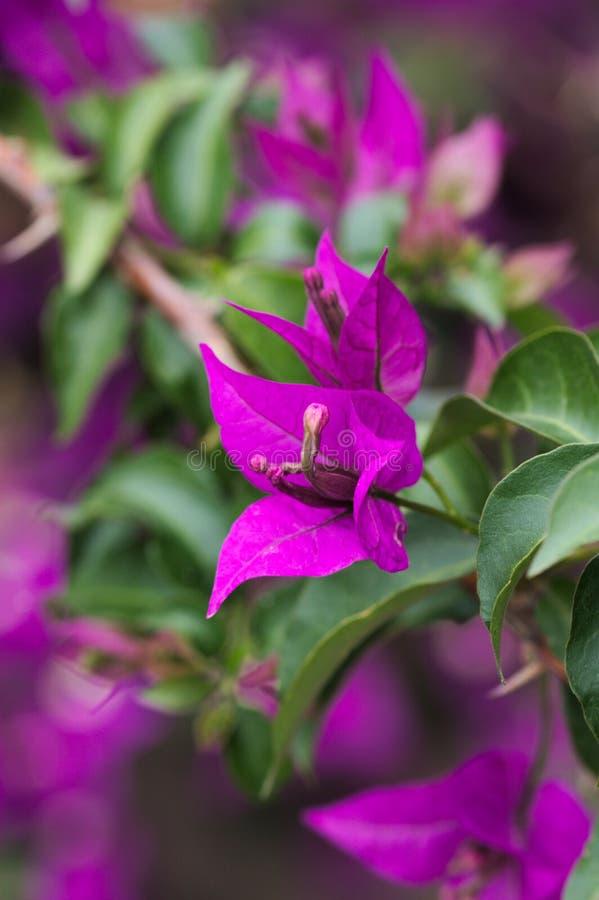 Detalle de algunas flores de la buganvilla en un jardín fotos de archivo libres de regalías