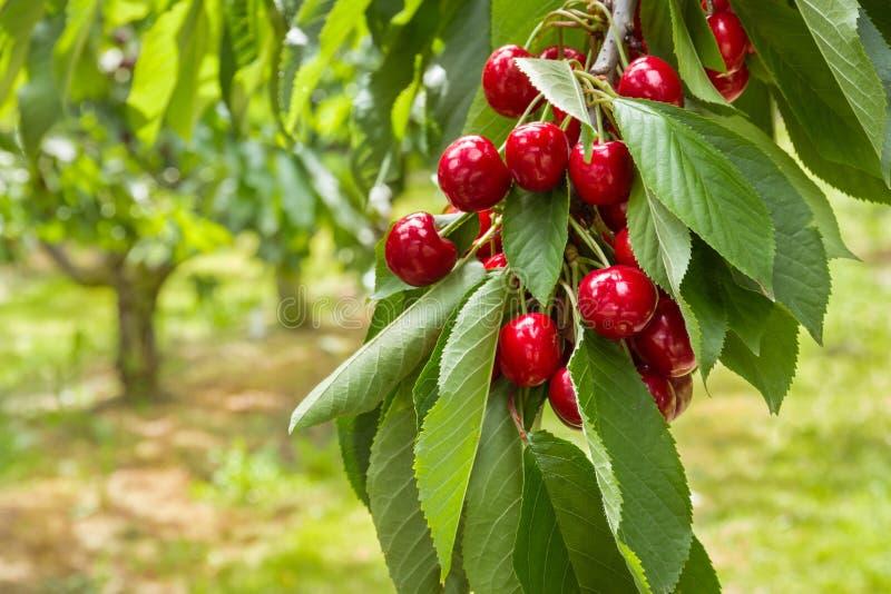 Detalle de cerezas rojas maduras en cerezo imagenes de archivo