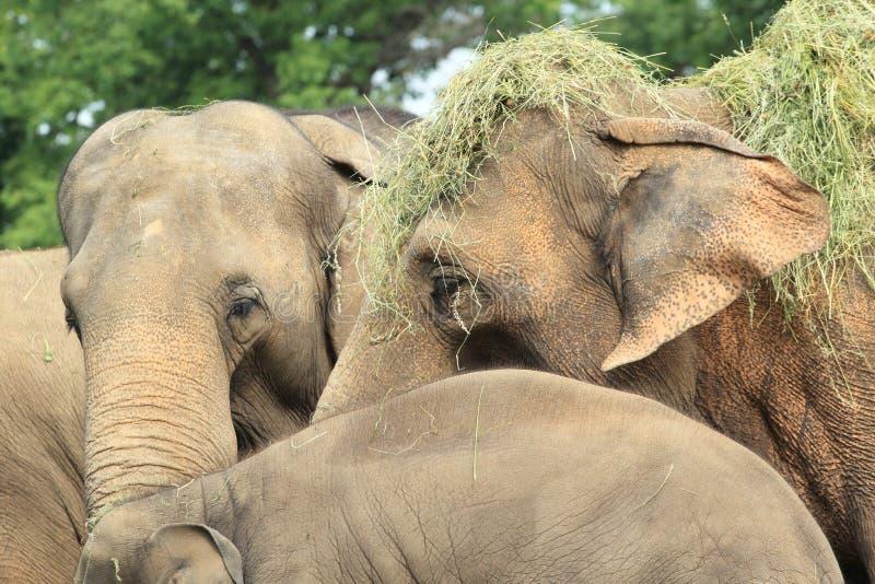 Detalle de elefantes indios fotos de archivo