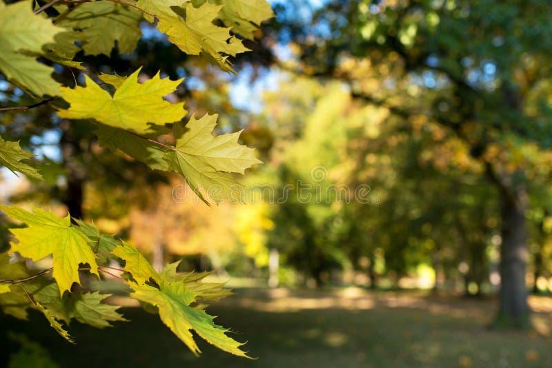Detalle de hojas de arce imagen de archivo libre de regalías
