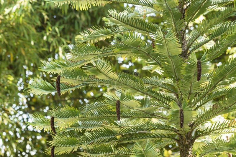 Detalle de hojas, del varón y de conos femeninos en el pino de Wollemia foto de archivo