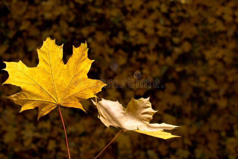 Detalle de hojas en el otoño foto de archivo