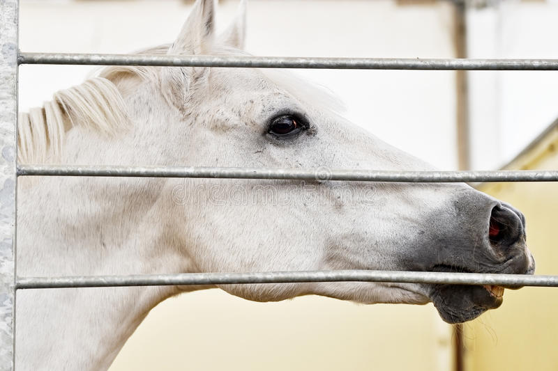 Detalle de la cabeza de caballo blanco dentro de una granja fotos de archivo
