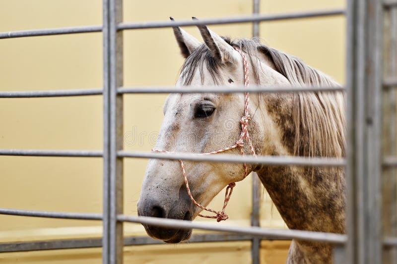 Detalle de la cabeza de caballo blanco dentro de una granja imagen de archivo libre de regalías