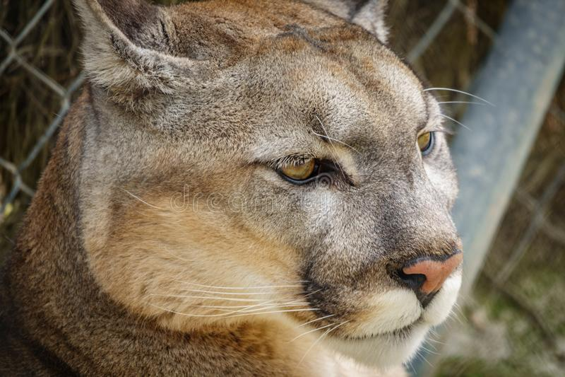 Detalle de la cabeza del puma en la jaula fotografía de archivo libre de regalías