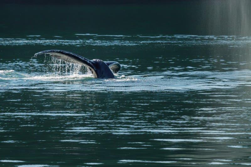 Detalle de la cola de la ballena jorobada (novaeangliae del Megaptera) fotografía de archivo libre de regalías
