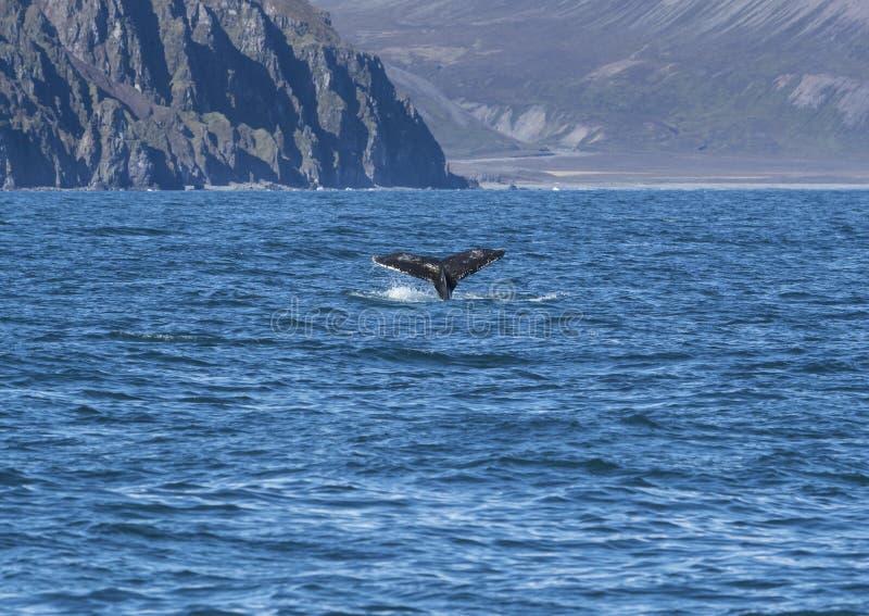 Detalle de la cola jorobada de la aleta, Islandia imagen de archivo libre de regalías