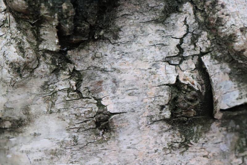 Detalle de la corteza de árbol de abedul - edición del bosque imagenes de archivo