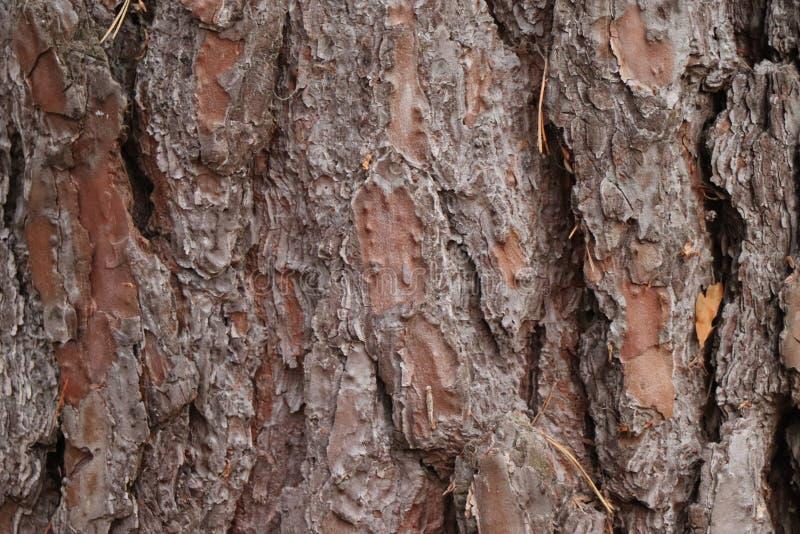 Detalle de la corteza de árbol de la conífera del pino - edición del bosque fotografía de archivo libre de regalías