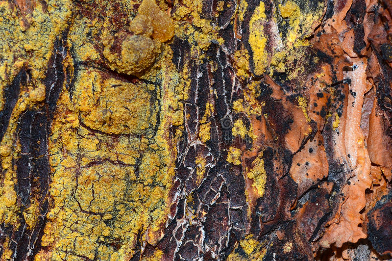 Detalle de la corteza de árbol de pino foto de archivo