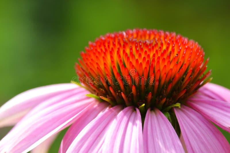 Detalle de la flor del echinacea foto de archivo libre de regalías