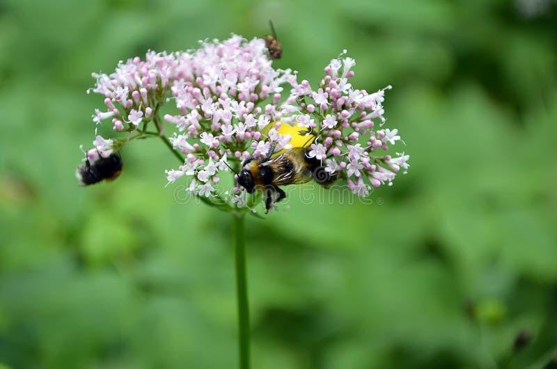 Detalle de la flor floreciente del prado con las abejas fotos de archivo libres de regalías