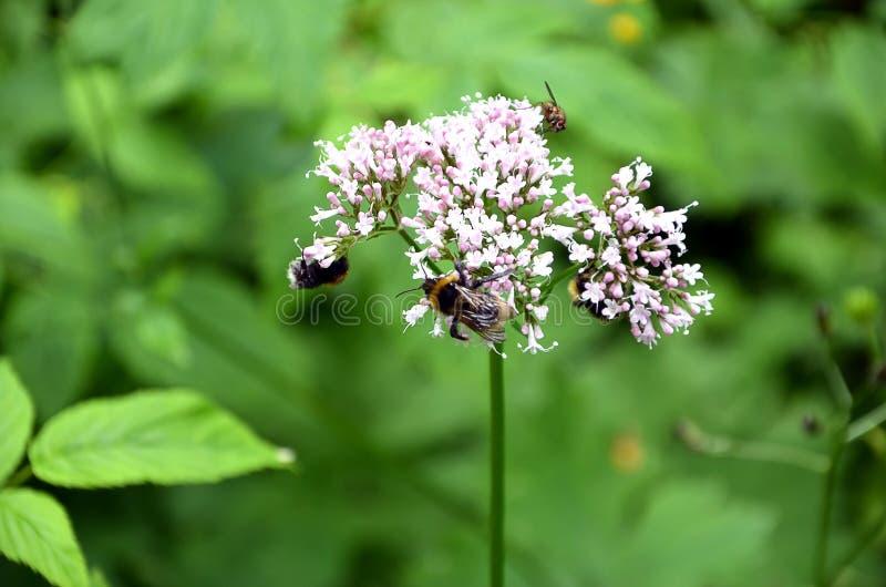 Detalle de la flor floreciente del prado con las abejas foto de archivo