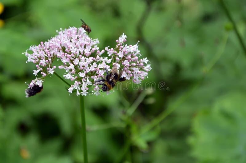 Detalle de la flor floreciente del prado con las abejas imagen de archivo libre de regalías